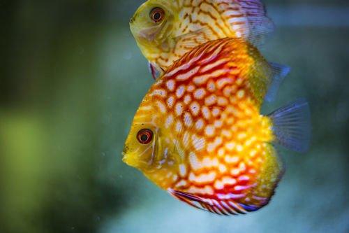 神仙鱼作为风水鱼有哪些风水讲究?